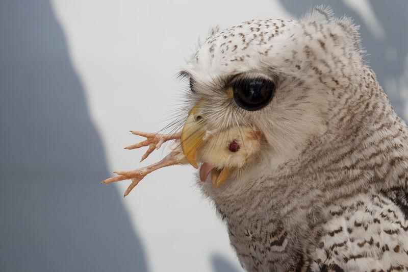 Close-up of owl feeding on bird