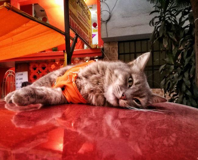 Mamagato Cat Gato