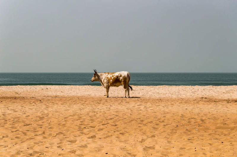 View of a horse on beach