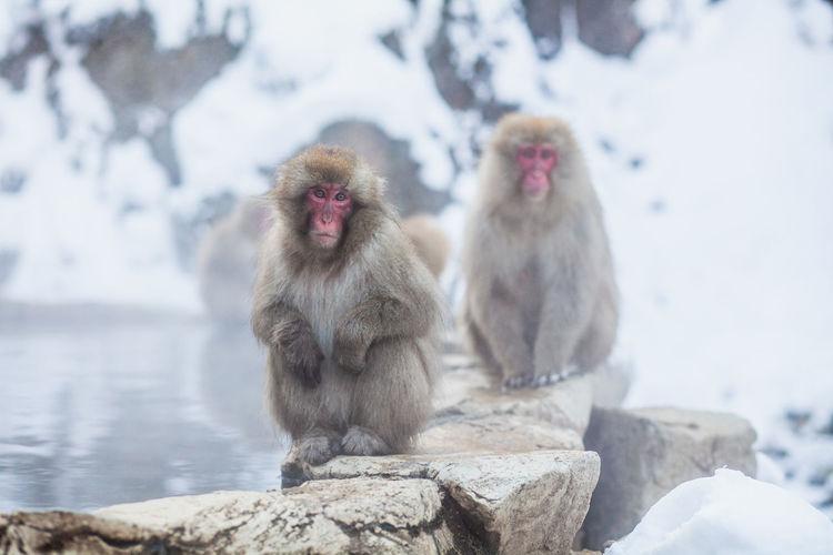 Japanese snow monkeys sitting on the stone