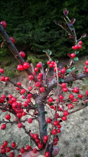 Tree Branch Red Winter Christmas Decoration Fruit Christmas Close-up Plant Rowanberry Berry Fruit Red Currant Berry Cranberry Needle - Plant Part Fir Tree Twig Rose Hip Raspberry