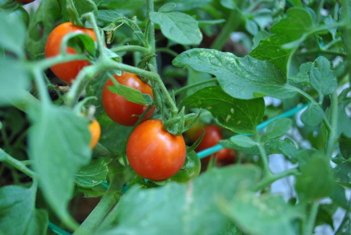 Tomatoes Salads Delicious Food Fresh Freshness Garden Green Color Greenhouse Greenleaves Grow Growth Healthy Eating HealtyFood Leaf Lovevegetable Nature Outdoors Plant Red Redtomato Smalltomatoes Tomato TomatoGarden Vegetable