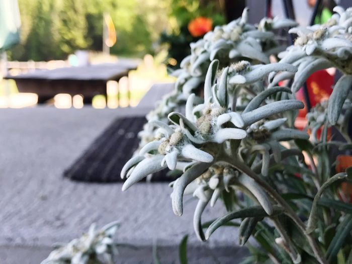 Focus On Foreground No People Close-up Day Outdoors Nature Europe Trip EyeEmNewHere Europe High Nature Plant Plants And Flowers Edelweiss Austria Austria ❤ Austria Mountains Austria Photos