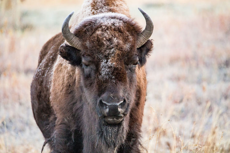 Portrait of american bison standing on field