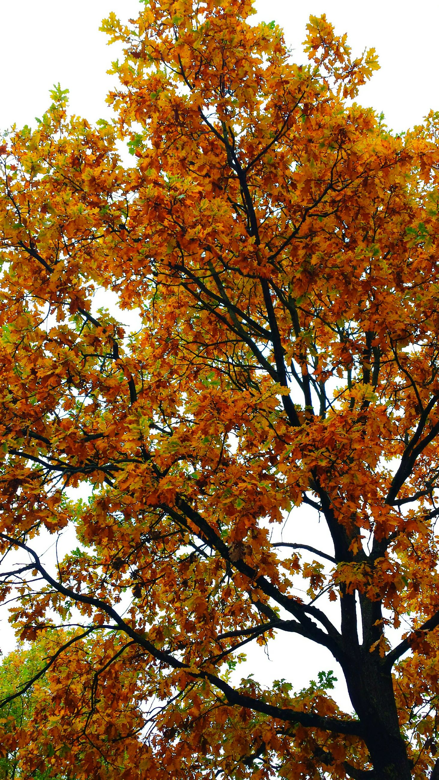 tree, low angle view, autumn, change, branch, growth, yellow, nature, season, beauty in nature, leaf, tranquility, sky, clear sky, day, orange color, lush foliage, outdoors, scenics, no people