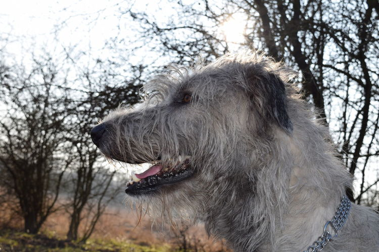 Sunbeam Bokeh Sunlight Silhouette One Animal Animal Themes Domestic Animals Tree Animal Head  Dog Animal Body Part Outdoors Herrenkrugpark Weather How Is The Weather Today? February 2017 Winter 2017 Cearnaigh Irish Wolfhound Dogslife Dogs Of EyeEm Take A Walk In The Park Dogwalk Looking At Camera