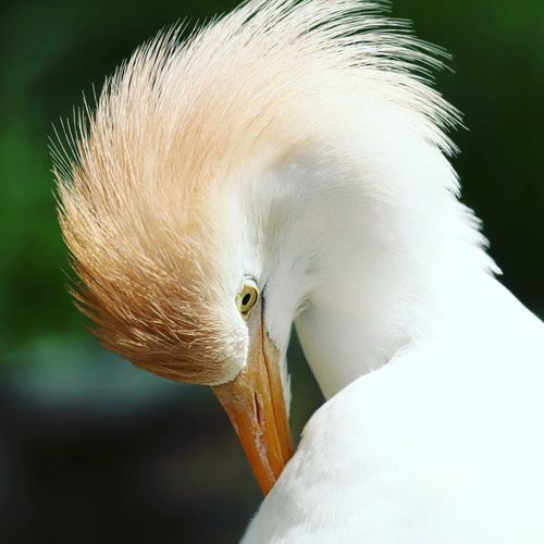 Cattle Egret One Animal Close-up Animal Themes Animals In The Wild Animal Animal Wildlife Vertebrate Bird No People Nature White Color Focus On Foreground Beauty In Nature Fragility Day Vulnerability  Animal Body Part Outdoors Beak Softness