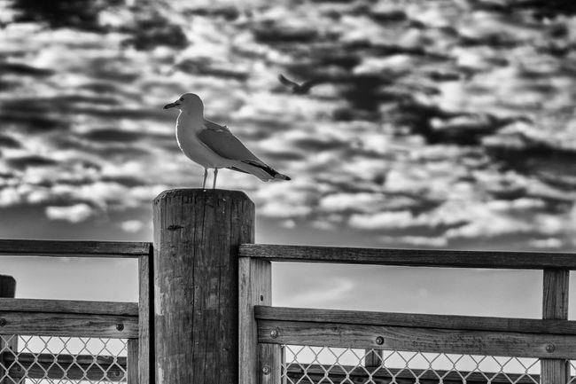Seagull on a post, one in the air Pier Animal Themes Animal Wildlife Animals In The Wild Beach Bird Blackandwhite Day Focus On Foreground Golden Hour Metal Monochrome Nature No People Ocean One Animal Outdoors Perching Railing Sky Sony A6000 Sonyalpha Sunrise Water Wooden Post