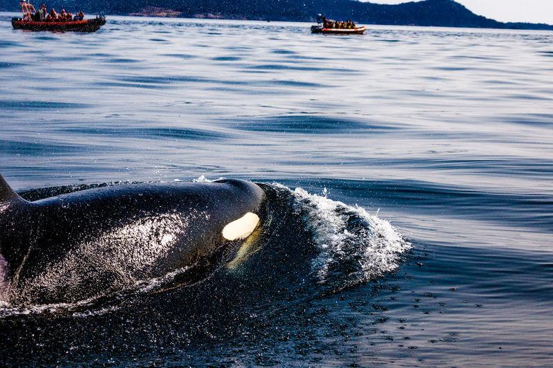 Killer whale swimming in sea