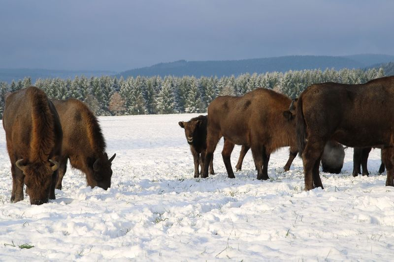 freilaufende Visent Visent Winter Cold Temperature Snow Nature Field Outdoors Mammal Beauty In Nature American Bison Animal Themes Domestic Animals