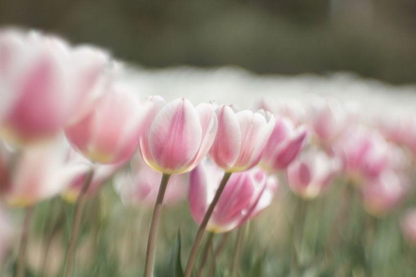 チューリップ Jupiter9 Japan EyeEmNewHere EyeEm Best Shots Plant Flower Flowering Plant Beauty In Nature Vulnerability  Fragility Close-up Pink Color Freshness Selective Focus Nature Focus On Foreground
