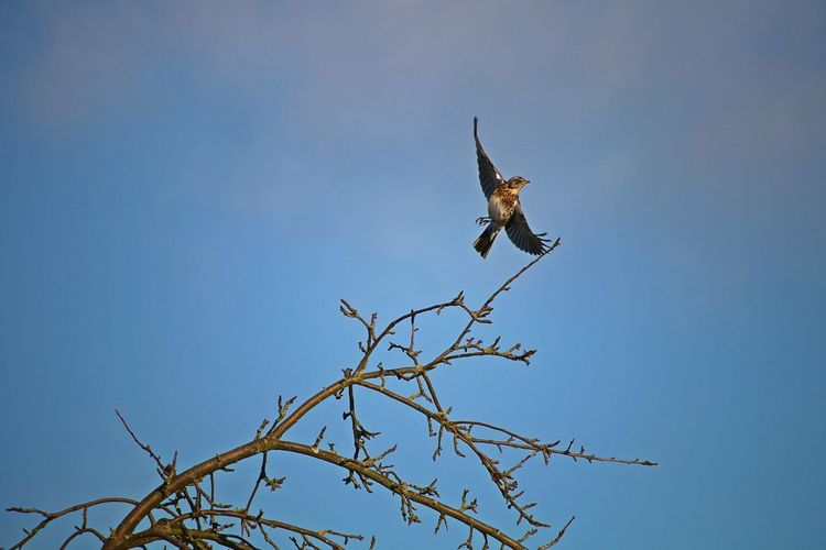 Bare Tree Spread Wings Tree Branch Nature Clear Sky Bird Flying Animal Themes Low Angle View Animals In The Wild Animal Wildlife One Animal Sky Lovely Freedom Enjoying Life Animal Photography Nature Photography Nature_collection Scenics - Nature Snapshot Natural Beauty Beautiful Nature Birds Of EyeEm