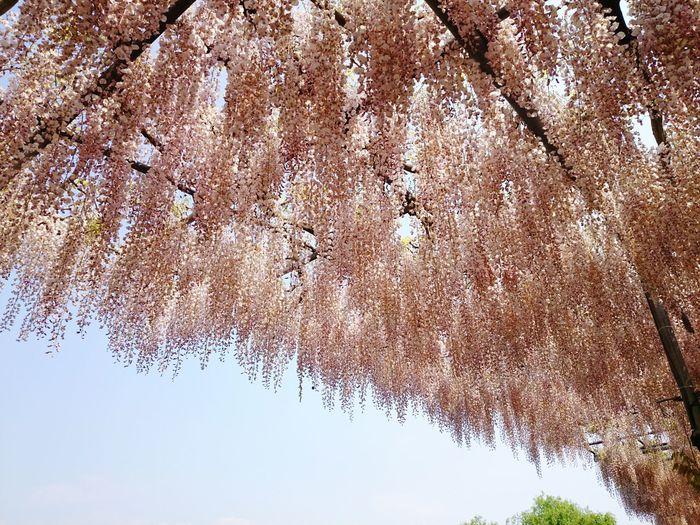群馬 あしかがフラワーパーク Tree Flower Enjoying Life お出掛け Japanese  Tree And Sky