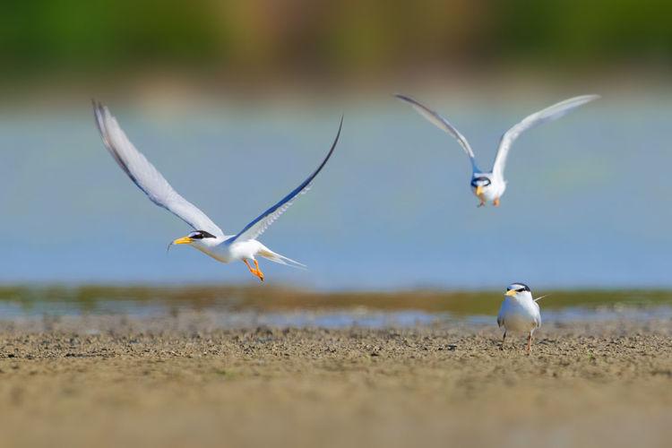 【白额燕鸥】同时几十只白额燕鸥在