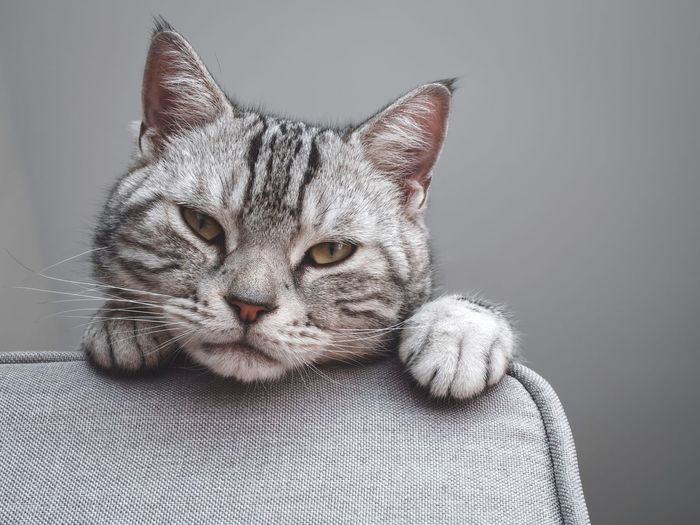 Close-up portrait of tabby cat against gray background