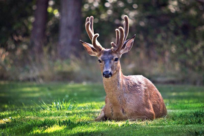 Buck Deer Wildlife Port Townsend Animals DSLR Canon5Dmk3