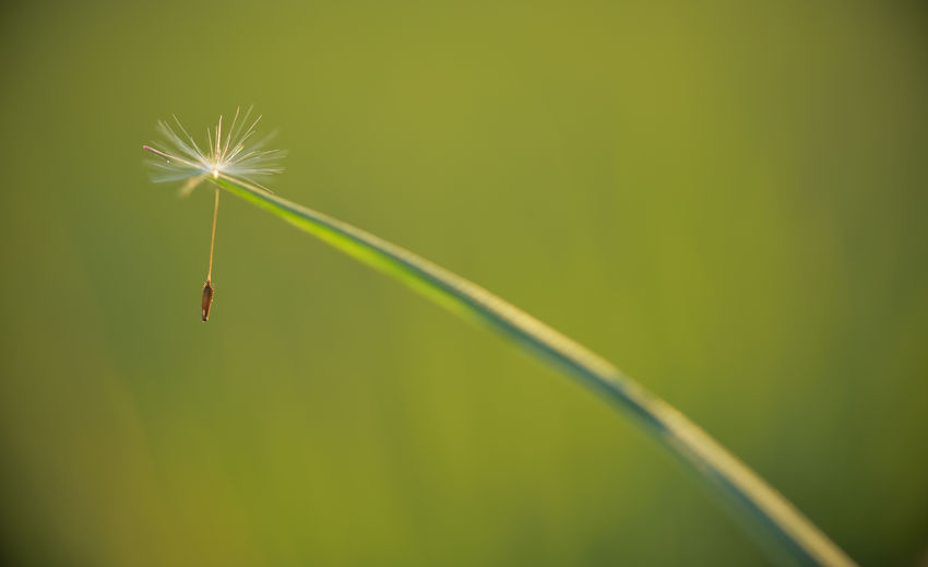 A dandelion umbrella on a blade off Grass Green Color Plant Beauty In Nature No People Day Nature Fragility Vulnerability  Close-up Invertebrate Outdoors Animal Growth Grass Focus On Foreground Blade Of Grass Flower Dandelion Seed Nature Makro Photography Makro EyeEm Nature Lover Enjoying The View Meadow Grass Grass Stalk Nature Art Nikon Nikonphotography Silence Of Nature Loneliness Silent Ecology Environment Mindfulness Sight