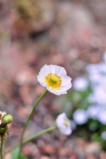 Poppy Flowering