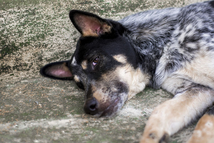 Dog One Animal Domestic Dog Canine Domestic Animals Mammal Animal Themes Pets Animal Vertebrate Relaxation No People Close-up Animal Body Part Day Lying Down Looking Animal Head  Looking Away Selective Focus