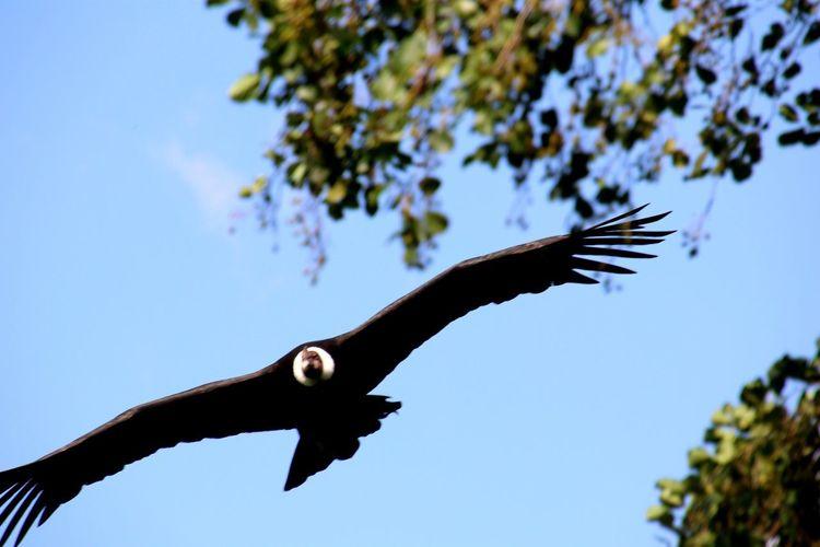 Geier Vogel