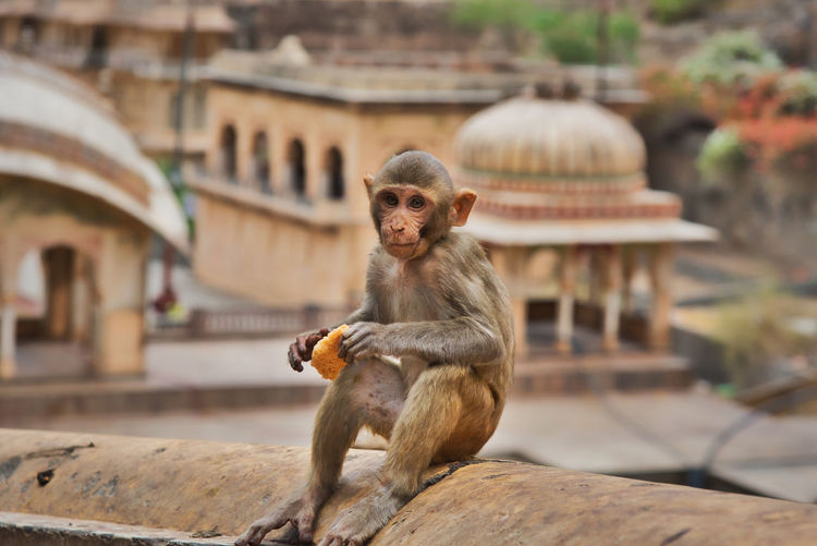 Monkey sitting on a temple
