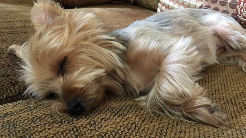 A cute little dog (yorkshire terrier) is enjoying her daily nap (again). Close-up Little Cute Sleeping Sleep Napping Nap Animal Dog Pet Yorkshire Terrier No People Indoors  One Animal
