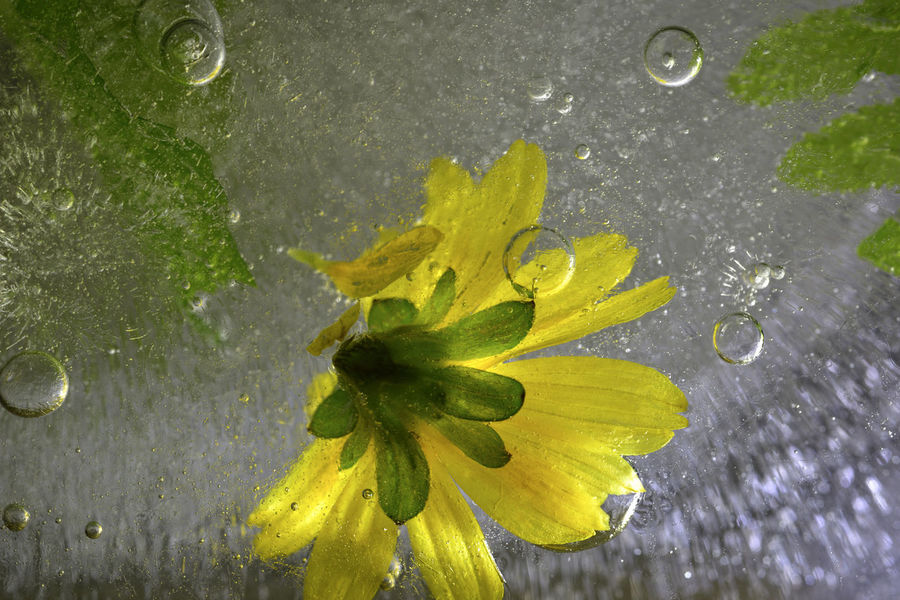 Frozen water, bubbles and plants freeze up. Frozen Ice Water Drops Background Beauty In Nature Bubble Close-up Day Drop Flower Flower Head Fragility Freeze Freshness Growth Leaf Nature No People Outdoors Petal RainDrop Water Wet Yellow Zero Degrees