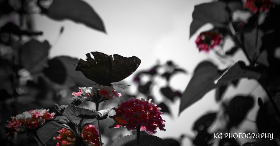 Butterfly Insect Photography My Clicks  Popular Photos intence red !! Kerala