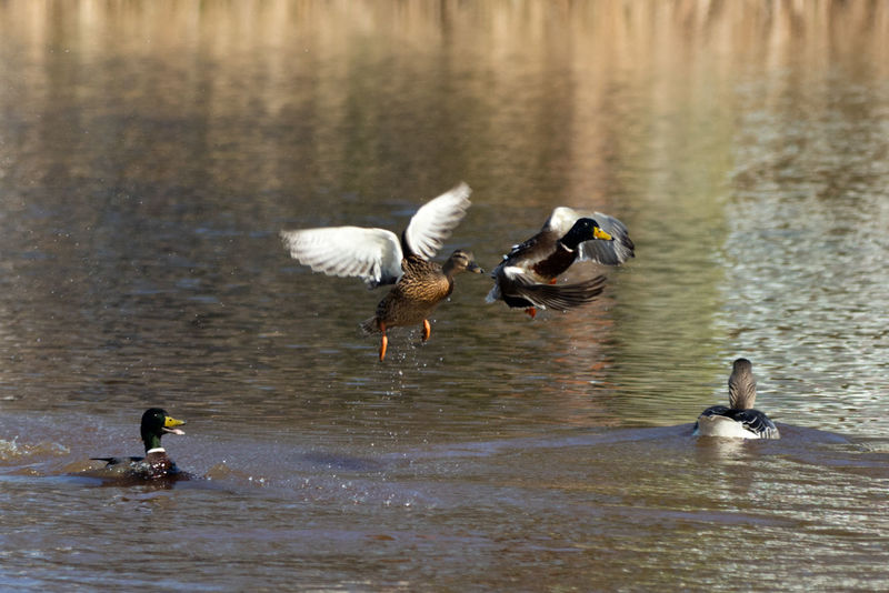 Animal Themes Animals In The Wild Bird Duck Duck In Flight Ducks Ducks At The Lake Full Length Lake Mallard Duck Nature Outdoors Reflection Rippled River Spread Wings Swimming Togetherness Two Animals Water Water Bird Waterfront Wildlife