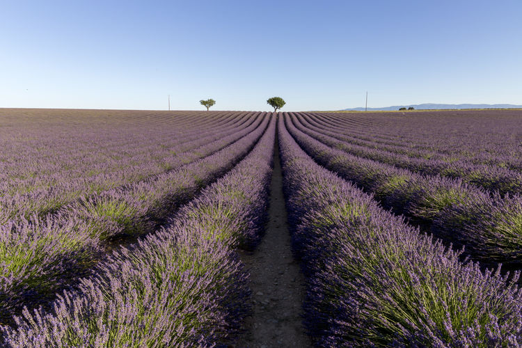 Flowering of lavender in Valensole Lavender Field Provence Provence Alpes Cote D´Azur Lavander Flowers Lavender Lavender Colored Lavenderflower Nature Outdoors Valensole