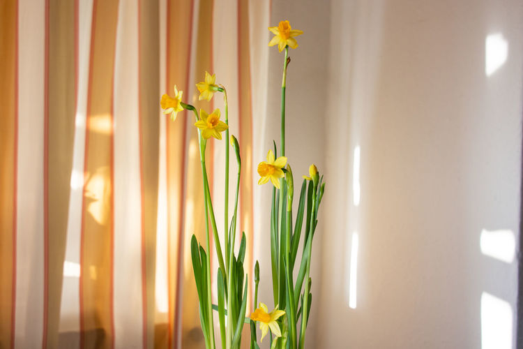 Close-up of yellow flowering narcissus hanging against wall