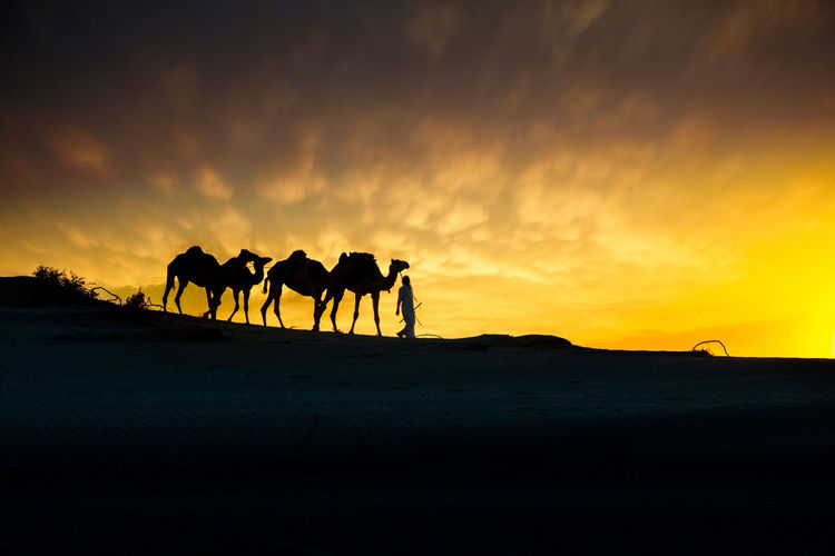 camel in the desert during sunset in Qatar Desert Animal Animal Themes Camel Camels Cloud - Sky Domestic Domestic Animals Group Of Animals Land Landscape Mammal Nature Pets Qatar Sky Sunset