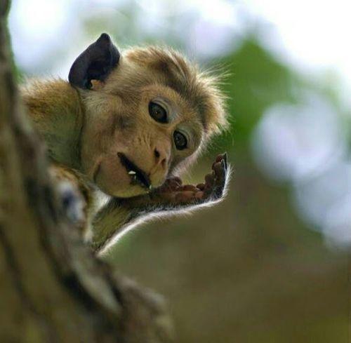 Sri Lanka Monkey King Enjoying Life In The Forest Arugambay Morning Light Hanging Out Relaxing Hello World EyeEm Animal Lover