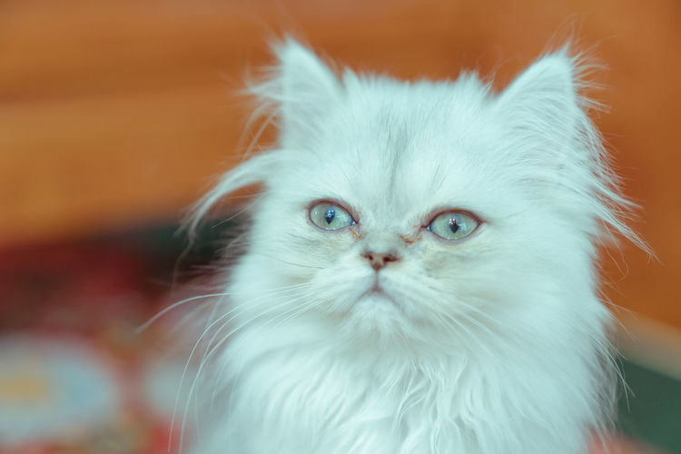 The pup of ginger cat. Cat's Eyes Close-up Cute Docile Ginger Cat Kitten White Background Animal Themes Domestic One Animal Pets Animal Mammal Domestic Animals Vertebrate Domestic Cat Cat Feline Looking At Camera Portrait Whisker Focus On Foreground No People Animal Body Part White Color Animal Head  Persian Cat  Animal Eye