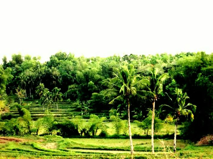 Nature Lover🌳🍃🍂🌿 Clean And Green Coconut Trees Rice Fields  Peace And Quiet Memories ❤ Resist EyeEm Diversity The Secret Spaces Long Goodbye EyeEmNewHere