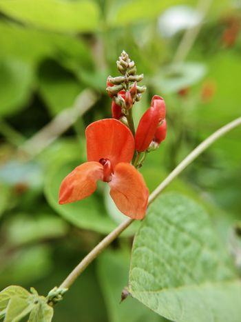 Growth Plant Flower Nature Petal Beauty In Nature Focus On Foreground Day No People Flower Head Red Outdoors Close-up Leaf Fragility Freshness Blooming Bean Plant Beans Macro Photography EyeEm Nature Lover Garden Photography EyeEm Gallery