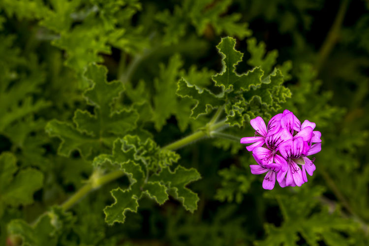 Flower Flowering Plant Plant Freshness Growth Vulnerability  Fragility Beauty In Nature Petal Inflorescence Flower Head Green Color Close-up Nature Pink Color Plant Part Leaf No People Day Focus On Foreground Outdoors Purple