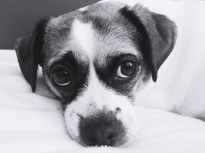 Dog Pets Mammal One Animal Animal Themes Domestic Animals Portrait Looking At Camera No People Close-up Indoors  Relaxation Day Nature