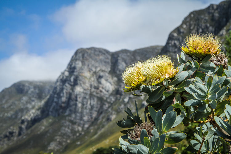 Yellow Leaf Petal Growth Cape Town Mountain No People Freshness Nature Outdoors Flower Head Focus On Foreground Beauty In Nature Flowering Plant Flower Plant Protea Flower Protea Kirstenbosch Botanical Gardens South Africa Close-up Vulnerability  Fragility Day