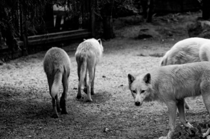 Wolf-pack at Zoo De La Flèche France Animal Themes Mammal Young Animal Domestic Animals Livestock Field Nature No People Day Outdoors Tree Togetherness Wolf Wolves Horde 3XSPUnity Fresh On Eyeem  Animals