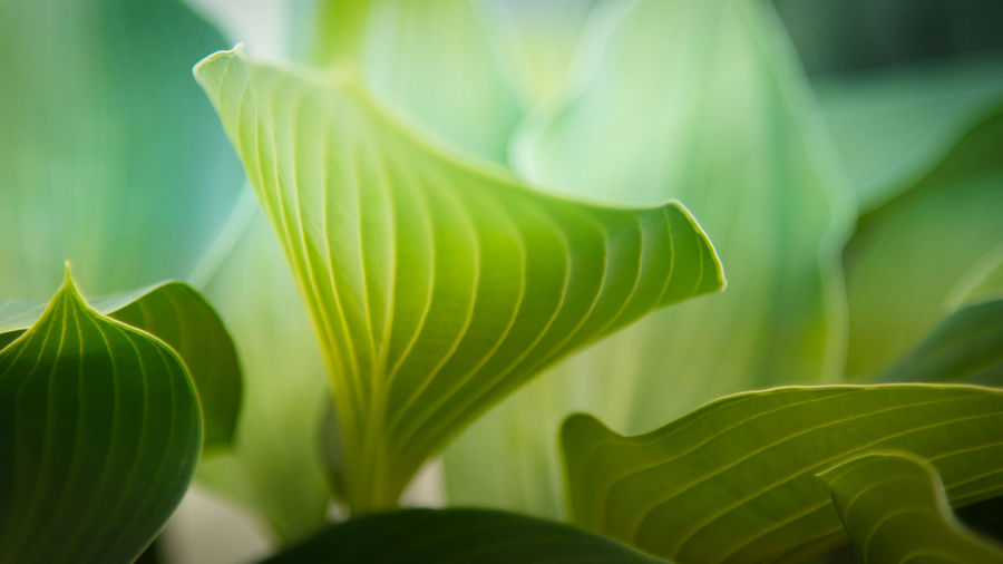 Plant Part Leaf Green Color Growth Plant Beauty In Nature Close-up Nature No People Natural Pattern Leaves Freshness Selective Focus Day Outdoors Focus On Foreground Pattern Sunlight Botany Funkie Nature_collection Nature Photography Hintergrundgestaltung Hintergrund Hintergrundbilder Grün Naturelovers EyeEm Nature Lover EyeEm Gallery The Minimalist - 2019 EyeEm Awards