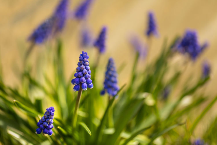 Beauty In Nature Bokeh Bokeh Photography Close-up Flower Flower Head Flowering Plant Focus On Foreground Fragility Freshness Grape Hyacinths Grape Hyacinths Muscari Green Color Growth Inflorescence Lavender Nature No People Outdoors Petal Plant Purple Selective Focus Springtime Vulnerability