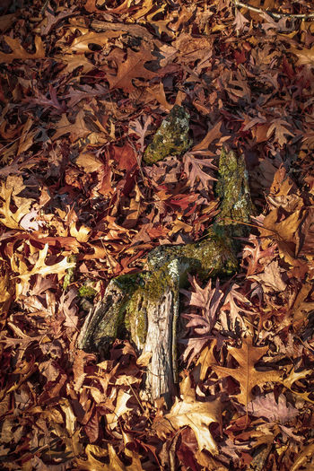 High angle view of dried maple leaves on land