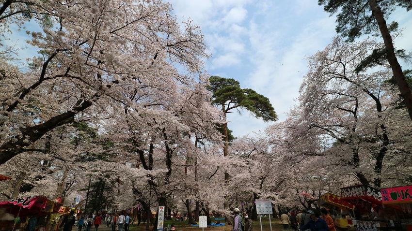 Sakura - Cherry Blossoms - in Omiya Park Cherry Blossoms Day Flower Full Bloom Nature Omiya Park Outdoors Outdoors Photograpghy  People Pink Sakura Sky Street Vendors Tree