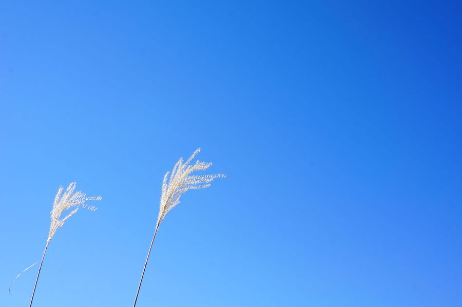 2013 Blue Clear Sky Copy Space Growth Nature Outdoors Sky すすき 高尾山