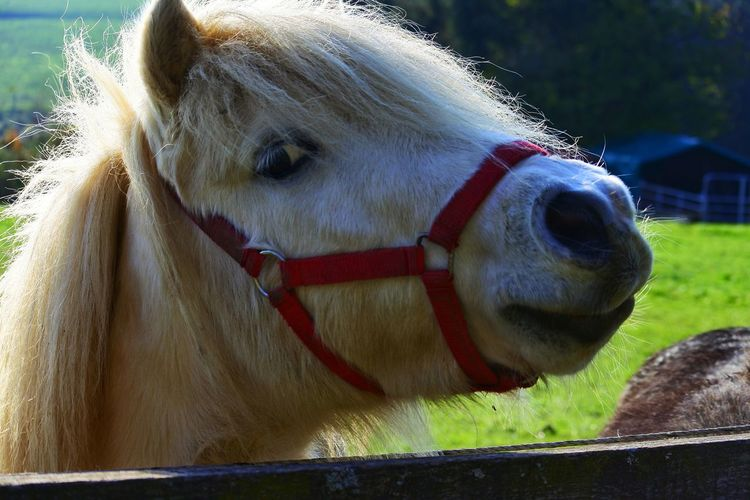 Pony Animal Portrait Pets Close-up Mane Paddock Horse