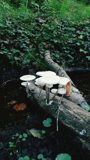Toadstool Funghi Mushrooms Mushroom_pictures Mushroom Hunting Wild Mushroom Mushroom Haven Mushrooming Mushroom Art