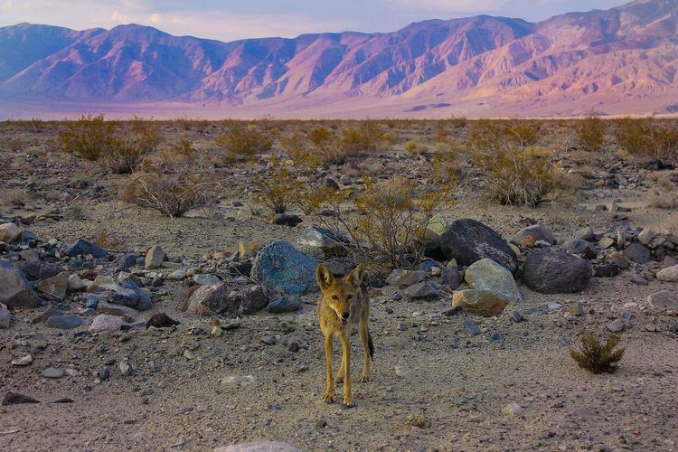 CAYOTE Arizona USA USAtrip America Animal Cayote Desert Environment Landscape Mountain Nature Nevada No People Rock Scenics - Nature
