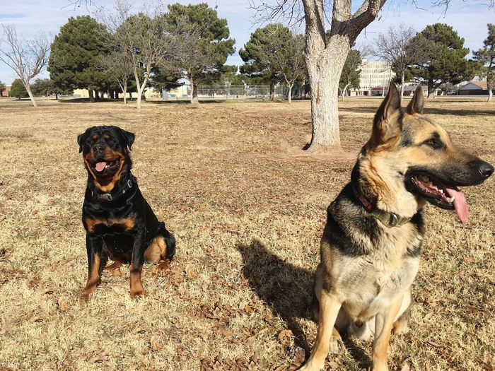 A portrait of a German shepherd and Rottweiler sitting outside together. Rottweiler German Shepherd Togetherness Portrait Field Animal Themes Nature Looking No People Mouth Open Friendship Dogs Outdoors Two Animals Texas Looking At Camera Sunlight Shadow Pet Portraits Fall Season Sitting Domestic Animals Happiness Canine Brown