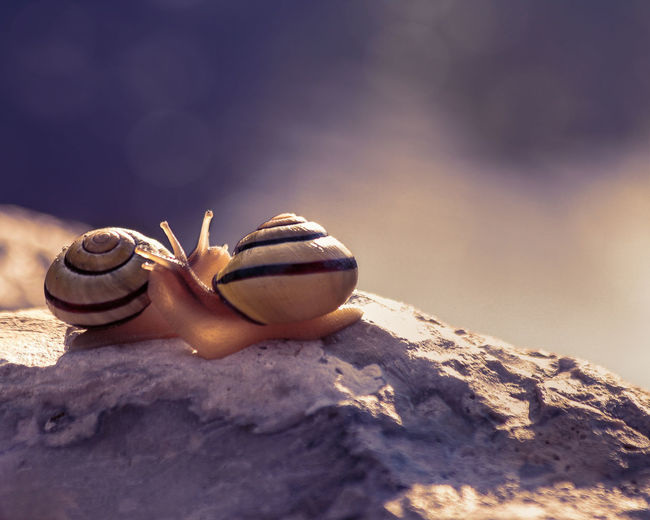 Close-up of snails mating on rock